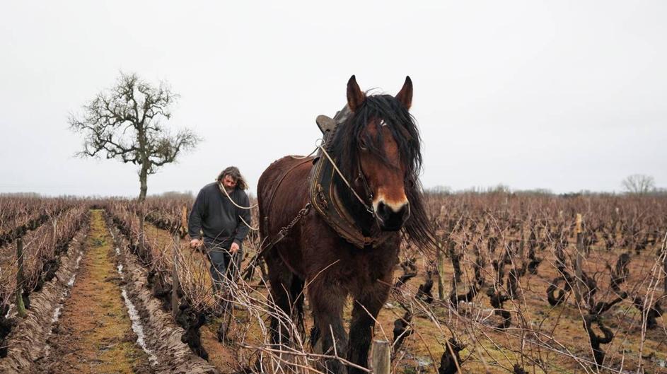– REPORTE – Caballos y carneros están de regresos en los viñedos para aliviar el suelo.
