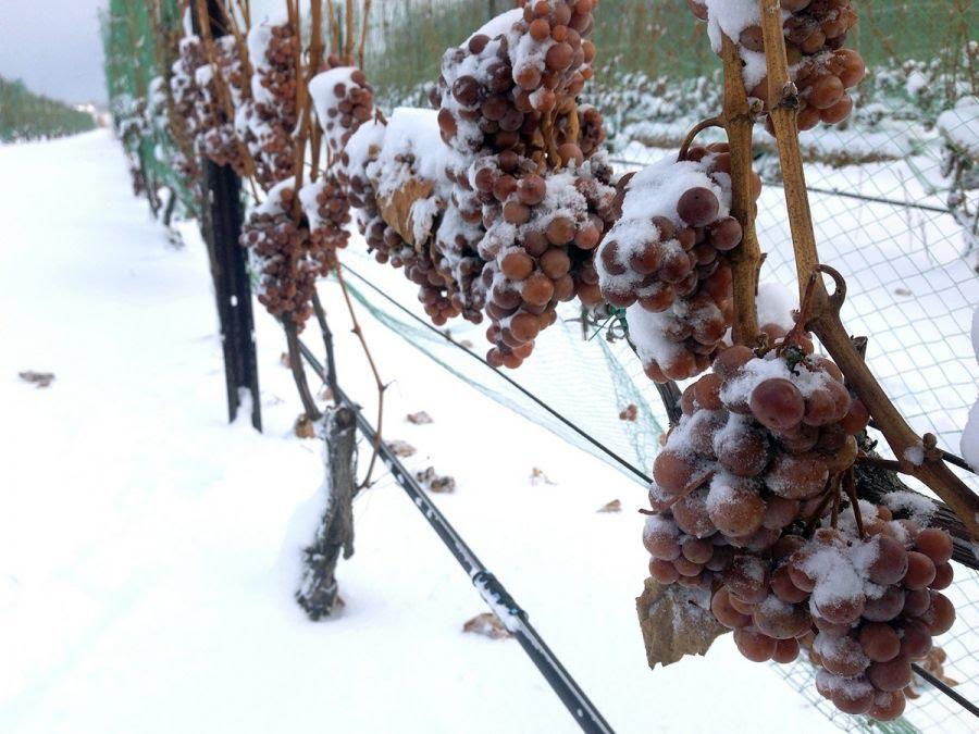 Comienza la cosecha de vino de hielo