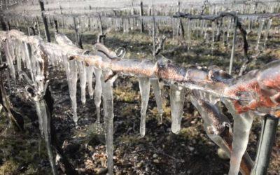 Frío cortante en los viñedos franceses